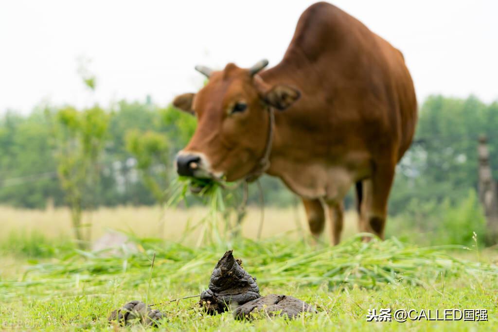 牛粪芯片问世,卡迪利亚:芯片能够预防病毒,出口售价10美元